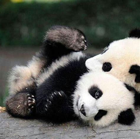 25+ best ideas about Pandas on Pinterest