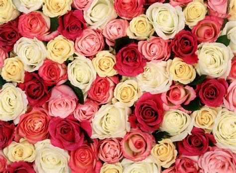 25+ Roses Background, Wallpapers, Images, Pictures