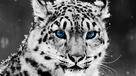Snow Animal Wallpaper - snow leopard wallpapers hd wallpaper cave