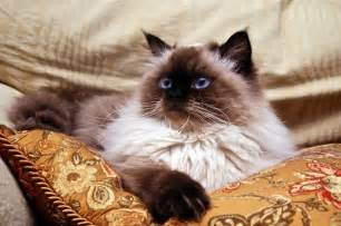 himalayan cats for himalayan cat pictures slideshow