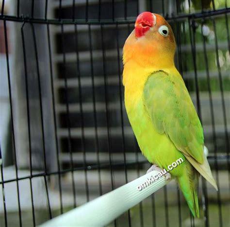 suara lovebird kusumo ngekek binatang peliharaan