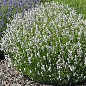 Que Faire Avec Des Fleurs De Lavande : lavande lavandin blanche edelweiss plantes et jardins ~ Dallasstarsshop.com Idées de Décoration