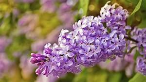 Wann Blühen Pfingstrosen Zum Ersten Mal : wann bl ht flieder zum ersten mal pflegetipps f r g rten ~ Lizthompson.info Haus und Dekorationen