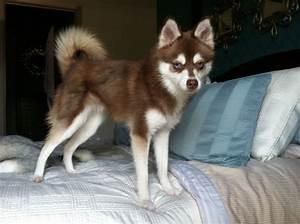 Texas Tucker. Alaskan Klee Kai. Red coat. double blue eyes ...