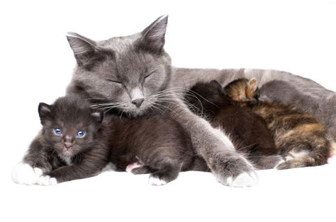 Cat Breeders by Cat The Arrival And Early Days Of Your Kittens