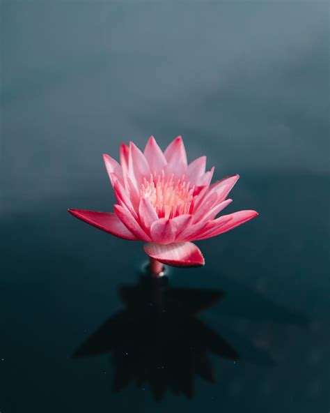 what is the meaning of the lotus in buddhism lion s roar