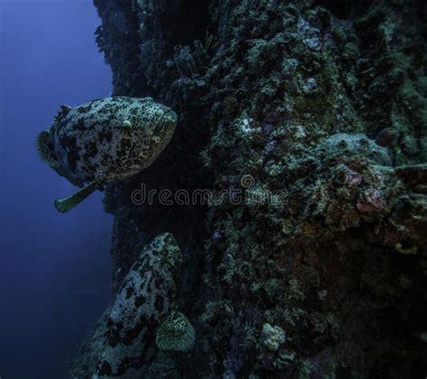 goliath spiegel largo grove key grouper fish upper florida
