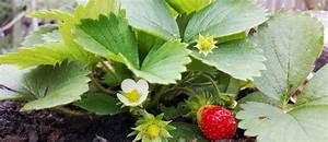 Erdbeeren Pflege Balkon : erdbeeren pflanzen pflegen und ernten bei ~ Lizthompson.info Haus und Dekorationen