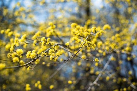 gelb blühender strauch gelb bl 252 hende strauch stockfoto colourbox