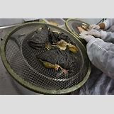 Caviar Harvesting   1024 x 683 jpeg 212kB