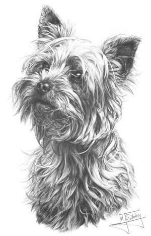 yorkshire terrier art pencil drawings pencil portrait