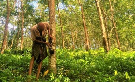 natural rubber industry  sri lanka