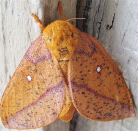 discovering  creation spiny oakworm moth anisota stigma