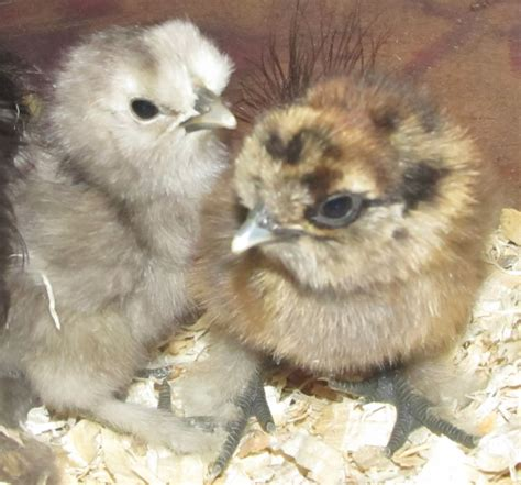 silkie chicken colors new silkie what colors will they be