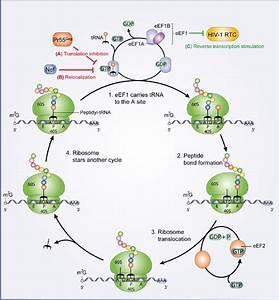 Eukaryotic Translation Elongation  Eef1a
