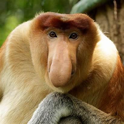 Monkey Squidward Proboscis Call