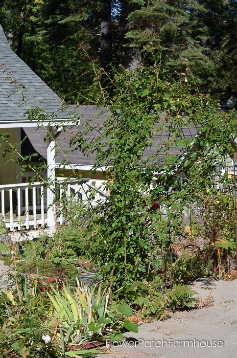 how to trim roses in summer prune train your climbing rose flower patch farmhouse