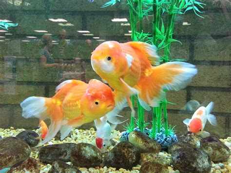 fancy goldfish life  sea