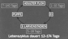 Flöhe Natürlich Bekämpfen : entwicklungszyklus des flohs ~ Lizthompson.info Haus und Dekorationen