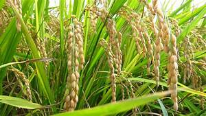 Round Of The Seasons In Japan  Golden Rice