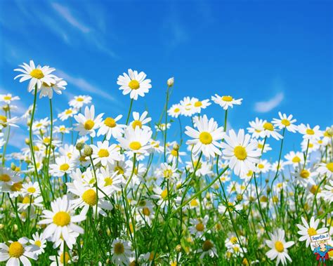 margherite fiori sfondi margherite hd sfondi in alta definizione hd