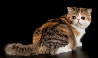 cat breeders purebred animals from registered cats breeders cats in