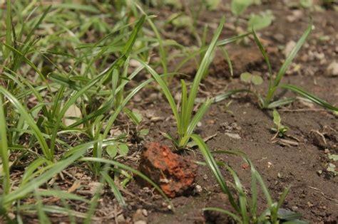 kill nut grass hunker