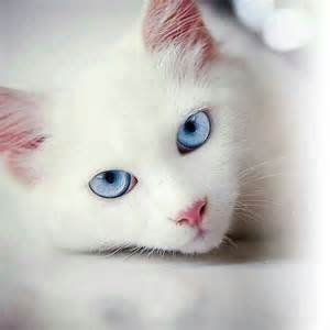 white cat with blue frostfoot white she cat with strikingly blue