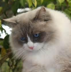 images of cats jarrah ragdolls