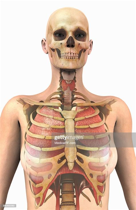 The rib cage is a primarily protective structure, encircling the heart and lungs. Anterior View Of The Lungs And Ribcage In A Transparent ...