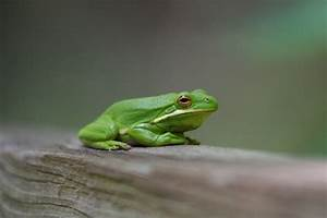 American Green Tree Frog Facts and Pictures | Amphibian Fact