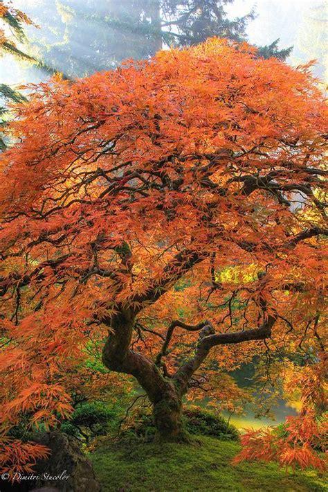 Bonsai Baum Preis by Die Besten 25 Maple Bonsai Ideen Auf
