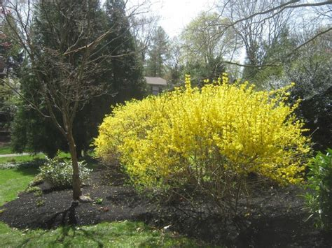 forsythia types 17 best images about chosen on pinterest gardens japanese tea house and zen gardens