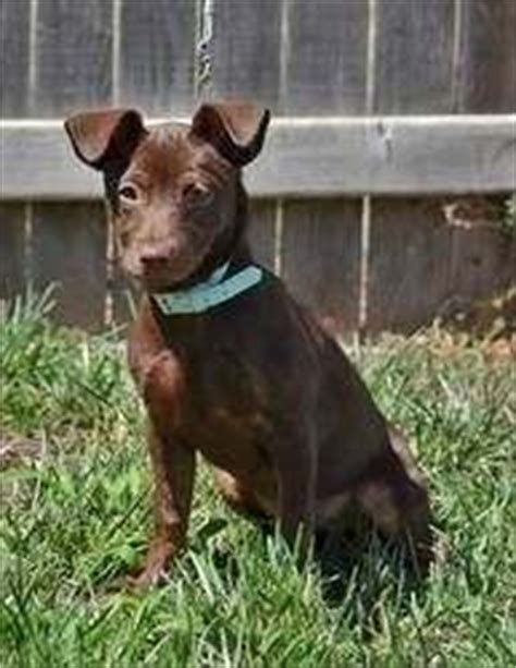 Do Miniature Pinscher Mix Shed by How Does A Min Pin And Labrador Mix Look Like Quora