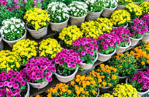 Im Topf by Chrysantheme Im Topf 187 Die Besten Pflegetipps