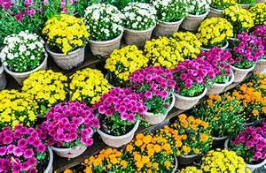 Herbstblumen Garten Winterhart : chrysantheme im topf die besten pflegetipps ~ Frokenaadalensverden.com Haus und Dekorationen