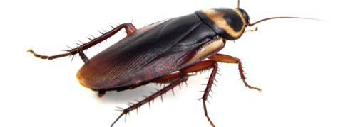 cockroaches gibraltar costa pest solutions
