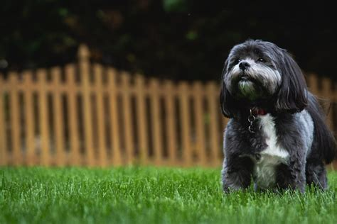shih tzu health problems  issues canna pet