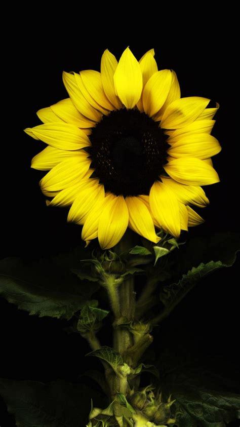 sunflower widescreen wallpaper  outdoors wallpaper p