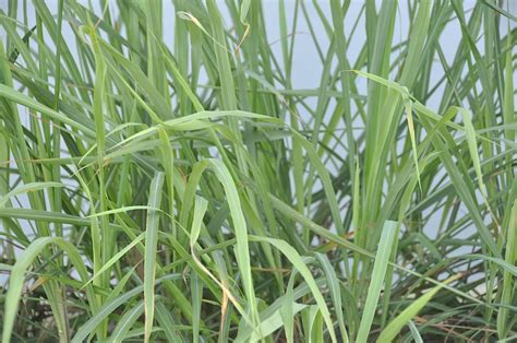 does citronella work top 28 do citronella plants work image gallery mosquito plant mosquito repelling plants