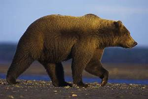 grizzly bear side profile - Google Search | image ...