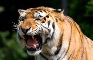Facts About Animal Tigers for Kids