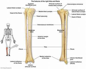 Tibia Fibula Anatomy Tibia And Fibula Diagram Google