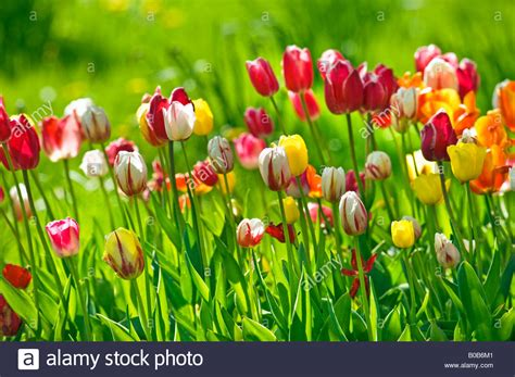 eleletsitz tulip garden images tulip garden flower chsbahrain com