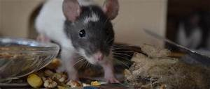 Was Fressen Ratten : was farbratten nicht fressen d rfen t dliche unvertr gliche nahrung ~ One.caynefoto.club Haus und Dekorationen