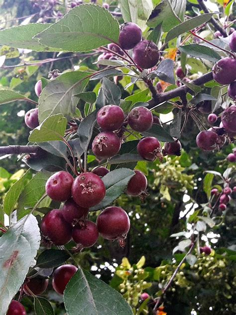 strawberry guava tree psidium littorale urban perennials