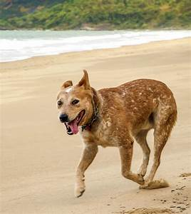 Australian Cattle Dog Red Heeler | www.pixshark.com ...
