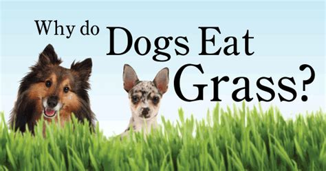 why do puppies eat why do dogs eat grass