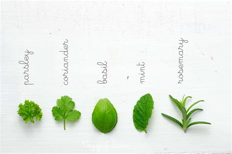 herbs plants pictures identification of herbs wildr