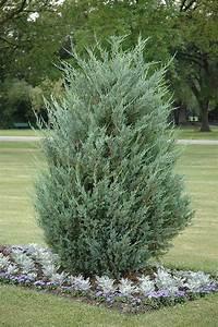moonglow juniper juniperus scopulorum 39 moonglow 39 in